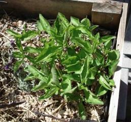 Indigo Plant