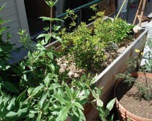 Planter Box with Dye Plant