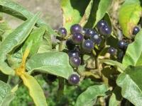 Berries  at Berkeley Botanical Garden