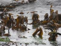 Magic Kelp